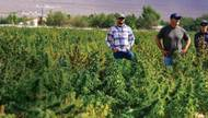 Across America, bud is blooming. Outdoor cannabis cultivators are preparing to harvest their crop this month, marking the end of an eight-to 10-month annual process. The seeds of many cannabis strains grown outdoors are ...