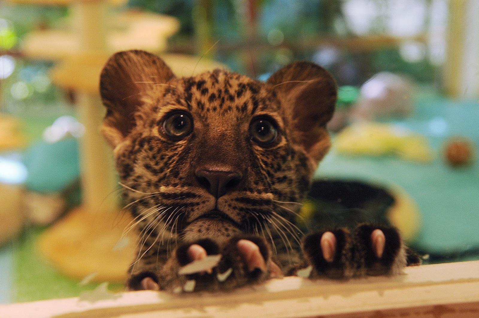 Strip Scribbles: Siegfried & Roy\'s new leopard cub Java makes his ...
