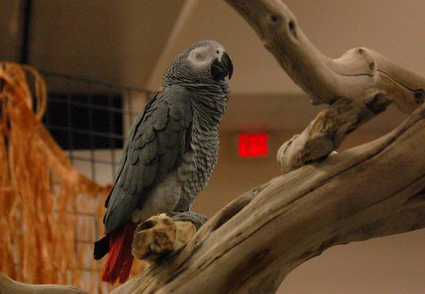 An African Grey Parrot at the Hawaiian Festival & Tropical Bird Expo.