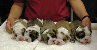 A litter of English bulldog puppies.