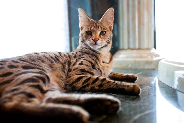 Monster, Santucci's African serval, lounges on the Palace's marble floor.