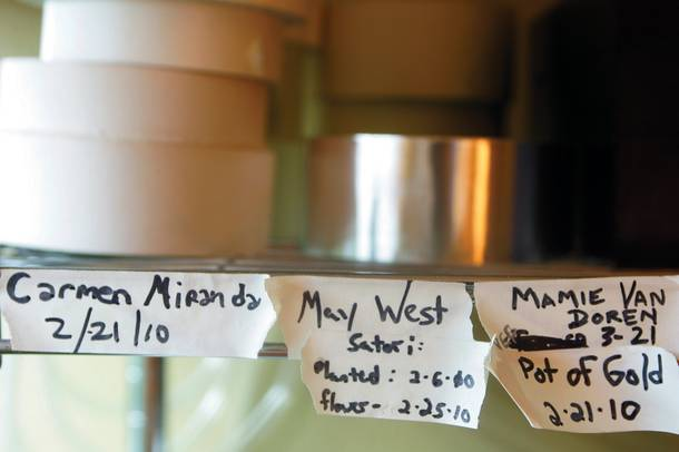 Home-grown strains named after silver screen starlets.