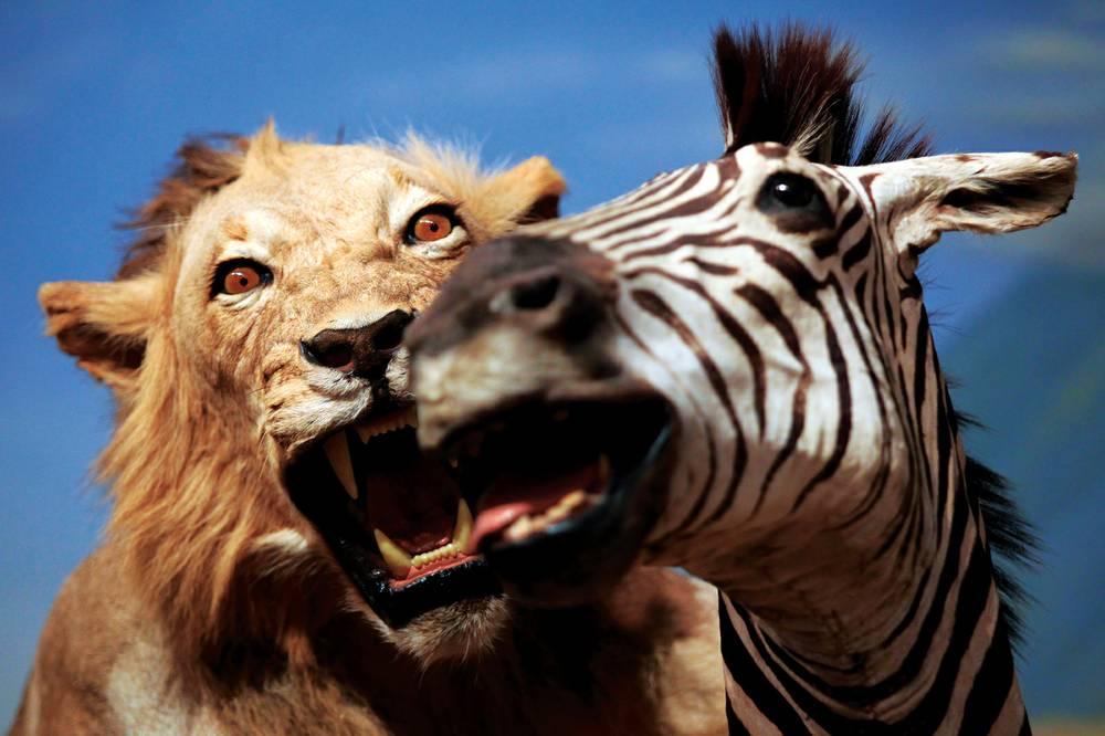картинки львов пантеры и зебра неудобными землями неудобями
