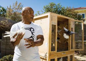 Mike Tyson handles one of his pigeons in the backyard of his Seven Hills home. He keeps more than 100 birds on the property.
