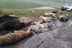 The aftermath of the Zanesville, Ohio, incident in which an exotic animal owner released over 50 lions, tigers and bears before committing suicide. Most of the animals were killed by police to prevent civilian attacks.