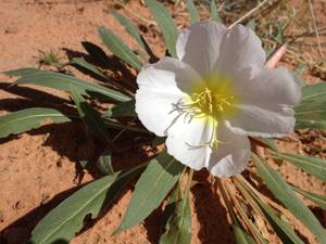 Even in the unforgiving soil of the Mohave, flowers find a way.