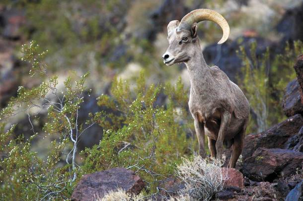 Keep an eye out for Nevada's state animal, the bighorn sheep, while you're exploring Lake Mead.