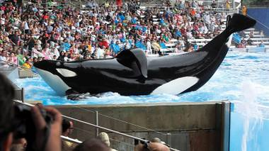 Blackfish advocates for the release of all large aquatic mammals, such as the whales at SeaWorld.