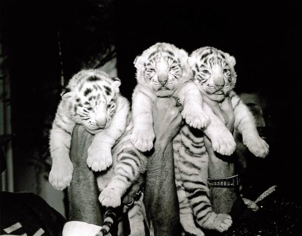 Three of Siegfried & Roy's white tiger cubs.