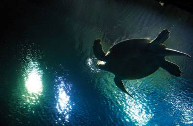 Forever home: OD, a green sea turtle, in his new digs at Shark Reef at Mandalay Bay.