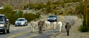 Living history: Don't mind the burros—it's all part of the Oatman experience.