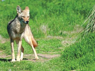 To spot a predator: With Southern Nevada's continuing drought, daylight spottings of coyotes are going to become more common.