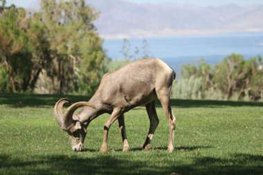 At Boulder City's Hemenway Park, bighorn sheep take refuge from the sun on hot summer days, and get surprisingly close to humans in the process.