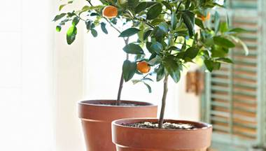 Fresh oranges grown at home can be yours — no garden required.