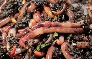 The little wrigglers enrich our desert soil in more ways than one.
