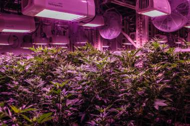 The marijuana cultivation room glows purple under the LED lamps at the Grove.